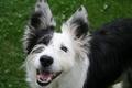 Картинка собака, карие глаза, лето, трава, улыбается