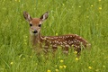 Картинка взгляд, трава, зелень, олень
