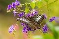 Картинка Сильвия Тигровая, макро, дуранта, цветы, бабочка