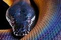 Картинка змея, питон