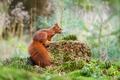 Картинка forest, Emi, пенек, природа, белка, squirrel, мох, grass, moss, трава, лес