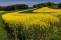 Картинка поле, лето, деревья, трава, рапс, желтый