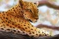 Картинка хищник, арт, леопард, лежа