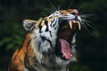 Картинка mouth, roar, teeth, yarn, Tiger