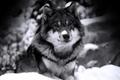 Картинка Волк, взгляд, ч/б, зверь, хищник, снег, зима