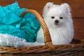 Картинка фотосессия, корзина, сидит, голубой, махровая, мордашка, шпиц, белый, бумага, фон, щенок, собака, портрет