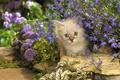 Картинка кошка, кот, цветы, камни, котенок, сиреневые, котэ, выглядывает