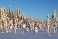 Картинка sunlight, snow, winter, pine, trees