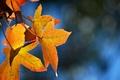 Картинка кленовые, осенние, фон, желтые, блики, синий, листья