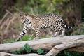 Картинка ягуар, хищник, пятна