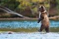 Картинка хищник, природа, рыба, Гризли, вода, Медведь, идет, Канада, река
