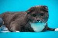 Картинка кошка, серый, обои от lolita777, шотландский вислоухий, кот, голубой фон