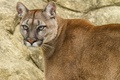 Картинка кошка, взгляд, пума, горный лев, кугуар