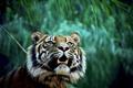 Картинка тигр, хищник, джунгли, пасть, клыки