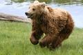 Картинка медведь, трава, река