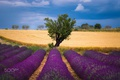 Картинка лаванда, небо, лето, природа, поле, пшеница, дерево