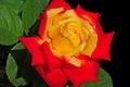 Картинка бутон, фон, роза разноцветная, цветок, капли