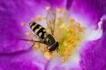 Картинка тычинки, краски, лепестки, насекомое, трутень, пчела, цветок