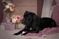 Картинка цветы, черный, розы, собака, щенок, кане-корсо