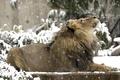 Картинка взгляд, лев, снег