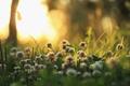 Картинка утро, свет, природа, растения, трава, клевер
