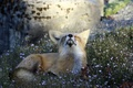 Картинка animal, fox, attitude, nature