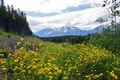 Картинка цветы, горы, деревья, желтые, лютики, Канада, долина, лес