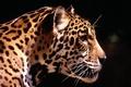 Картинка леопард, солнце, хищник