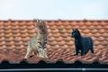 Картинка усы, взгляд, крыша, коты