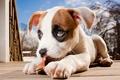 Картинка щенок, питбуль, боксёр, pitbull boxer mix