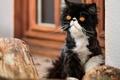 Картинка кошка, кот, персидская кошка