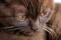 Картинка кошка, котенок, шоколадный