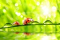 Картинка morning, macro, dew, drops, grass, water, ladybugs, nature
