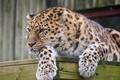 Картинка амурский леопард, хищник, отдых, лапы, морда, дикая кошка