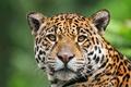 Картинка красавец, ягуар, смотрит