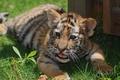 Картинка кошка, тигренок, тигр, рыжий, малыш, трава, полосы