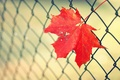 Картинка лист, забор, ограда, клен