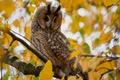Картинка дерево, ветка, сова, желтые, листья