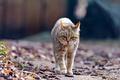 Картинка wildcat, дикая кошка, листья
