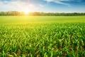 Картинка the trees, its rays, лучи, the corn field, the sun, природа, кукурузное поле, деревья, солнце, ...