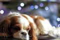 Картинка собака, мордочка, порода