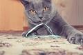 Картинка britishcat, max, grey, киса, thecat, fluffy