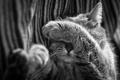 Картинка кошка, кот, нос, спит, черно-белое, лапка