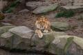 Картинка морда, отдых, хищник, лев, грива, лежит, дикая кошка, зоопарк