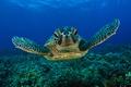 Картинка Море, морская черепаха, вода, морда, глаза
