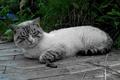 Картинка трава, кот, сиамский