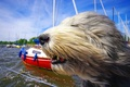 Картинка морда, ветер, собака, яхты, Бородатый колли, солёный пёс