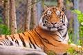 Картинка лежит, тигр, смотрит, полосатый красавец, морда