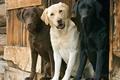 Картинка Трио, собаки, лабрадор