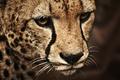 Картинка tiger, cat, animal